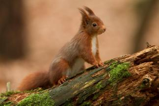native Irish Red Squirrel
