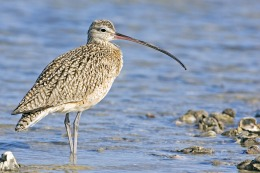 curlew_-_natures_pics