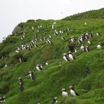 Puffin Colonies on Puffin Island