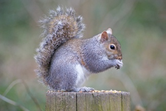 Non-native Grey Squirrel