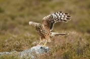 Hen harrier Circus cyaneus, Deeside, East Scotland, June