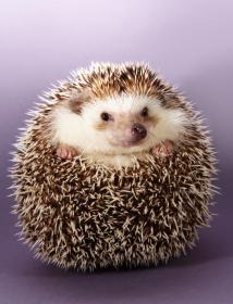 cute little hedgehog, purple background