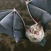 lesser-horseshoe-bat
