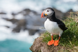Male Puffin on the coast