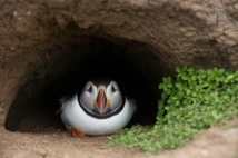 Puffin in Rabbit Burrow