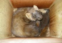 Pine Marten sleeping in Den Box