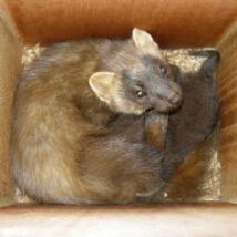 Pine Marten sleeping in Den Box