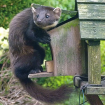 Pine Marten using Den Box
