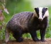 Badger - the main hedgehog predator