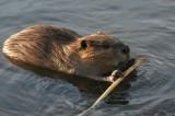 beavers-8