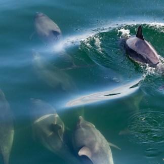bottlenose-dolphin-shannon-estuary-county-clare-ireland_carsten_krieger_lhtn24