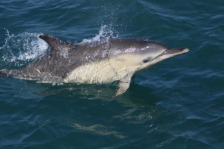 common-dolphin-2
