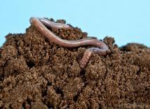 earthworm-in-soil
