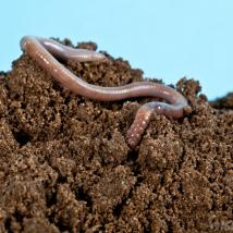 earthworm-in-soil