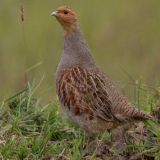 Irish Red Grouse