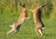 hare-08