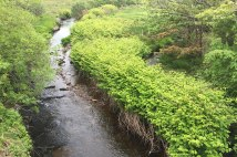 Japanese Knotweed invading a stream ecosystem
