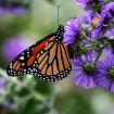 monarchbutterflyusfwrickhansen