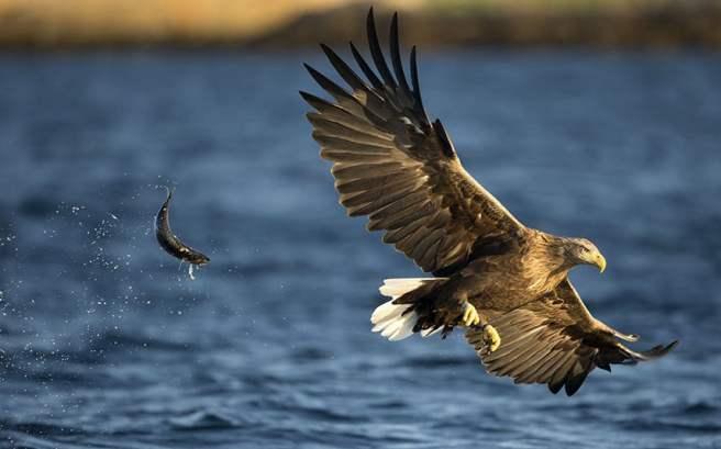sea_eagles_drop_3335241k