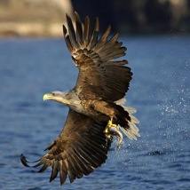 white_tailed_sea_eagle_catching_a_fish