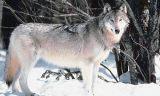 wolfgrey1