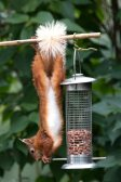 red-squirrel-c-martin-rogers